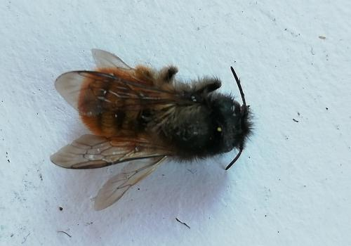 Identified as Masonry bee – Osmia rufa